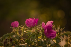 garden-rose-823824